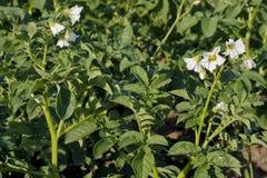 Flowers of potato plants Royalty Free Stock Photography