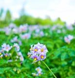 Flowers of potato Stock Photo
