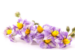 Flowers of potatoes blooming in early summer royalty free stock photography