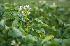 Flowers potatoes Royalty Free Stock Images