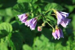 Flowers of potatoes Stock Photos