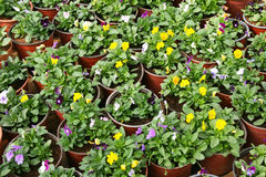 Flowers in pots royalty free stock photography