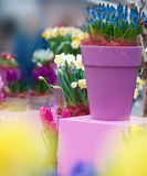Flowers in pots Stock Images