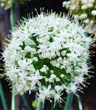 Flowers. Pretty onion flower Royalty Free Stock Image