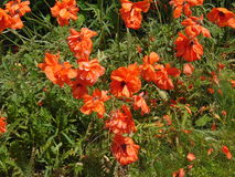 Flowers. Pretty orange flowers in sunny weather royalty free stock photo