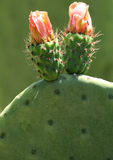 Flowers of prickly pear Royalty Free Stock Photography