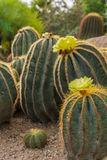 Flowers of prickly pear Stock Photos