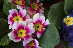 Flowers of primrose at blurred green background in garden at sunny day Stock Image
