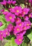 Flowers primrose Julia (Rrimula juliae) Stock Image