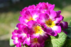 Flowers of Primula Royalty Free Stock Photo