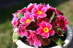 Flowers of Primula Royalty Free Stock Image