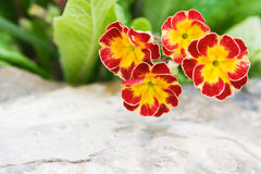 Flowers primula Royalty Free Stock Photos