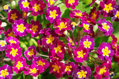Flowers Primula Royalty Free Stock Photo