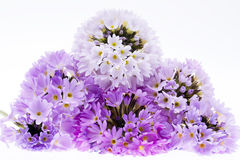 Flowers of  primula isolated on white background. Some violet spring  flowers of  primula isolated on white background Stock Image