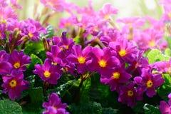 Flowers Primula juliae Julias Primrose or purple primrose in the spring garden. Royalty Free Stock Photos