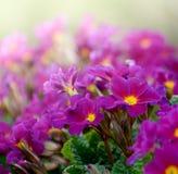 Flowers Primula juliae Julias Primrose or purple primrose in the spring garden. Royalty Free Stock Photo