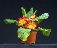 Flowers primula in a pot Stock Photography