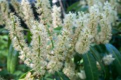 flowers of prunus laurocerasus in a hedge Stock Photos