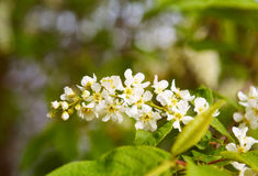 Flowers of Prunus padus or European Bird Cherry. In the garden in spring. Selective focus Stock Images