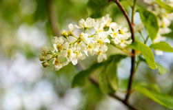 Flowers of Prunus padus or European Bird Cherry. In the garden in spring. Selective focus Royalty Free Stock Photo