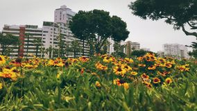 Flowers on a public park with buildings behind. Yellow flowers array first row, with some trees and residential buildings on the background Royalty Free Stock Photography