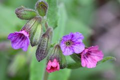 Flowers of Pulmonaria obscura. Close up. Some of its flowers change color from pink to blue as they age Stock Photography