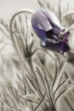 Flowers pulsatilla pratensis on spring meadow. Few flowers pulsatilla pratensis on the spring meadow in sepia. Only flowers - natural color Stock Photo