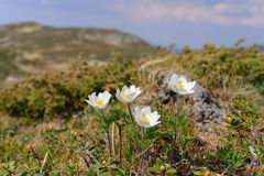 Flowers Pulsatilla scherfelii. Pictures created in the Carpathian mountains Stock Image