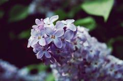 Flowers purple Stock Photography