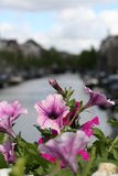 Flowers. Purple flowers in Amsterdam, Netherlands Stock Photo