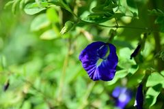Flowers, purple, background blurred. Natural green of flowers & x22;Anchan& x22 Stock Image