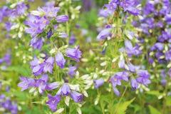 Flowers Purple Bell Royalty Free Stock Photo