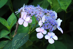 Flowers purple big and small blossoms Royalty Free Stock Image