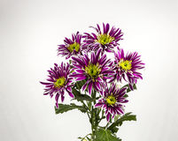 Flowers purple chrysanthemum bouquet on white background Stock Images