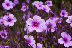 Flowers purple color - Geranium Royalty Free Stock Images