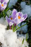 Flowers purple crocus Stock Image