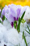 Flowers purple crocus Royalty Free Stock Photo