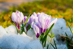 Flowers purple crocus Royalty Free Stock Photography