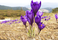 Flowers purple crocus Stock Photography