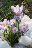 Flowers purple crocus in the snow Stock Photos
