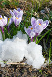 Flowers purple crocus in the snow Royalty Free Stock Image