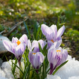 Flowers purple crocus in the snow Royalty Free Stock Photos