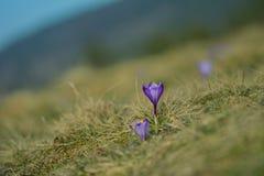 Flowers purple crocus in spring. stock images