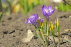 Flowers purple crocus in spring. royalty free stock image