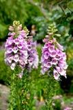 Flowers of purple foxglove or lady`s glove. Digitalis purpurea. Closeup Royalty Free Stock Photo