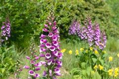 Flowers of purple foxglove or lady`s glove. Digitalis purpurea. Closeup Stock Photography