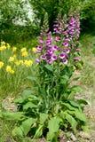 Flowers of purple foxglove or lady`s glove. Digitalis purpurea. Closeup Stock Photos