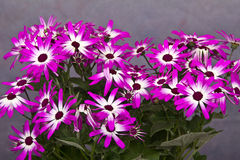 Flowers. Purple flowers on a gray background royalty free stock images