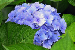 Flowers - Purple Hydrangea Stock Image