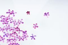 Flowers purple lilac laid out on a white background. Soft image. stock photography